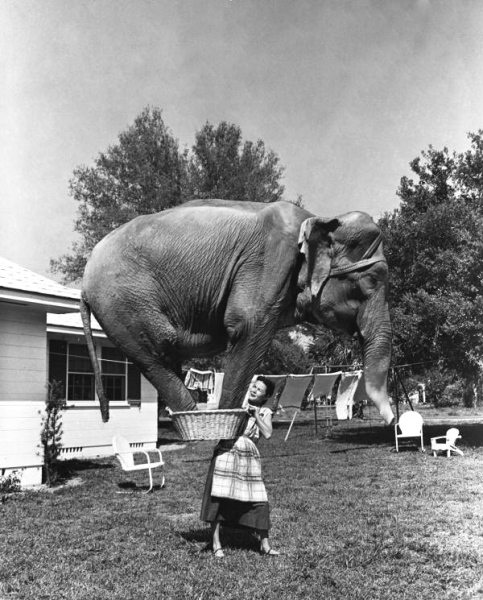 Composite photograph of Jean Younkers holding an elephant in a laundry basket