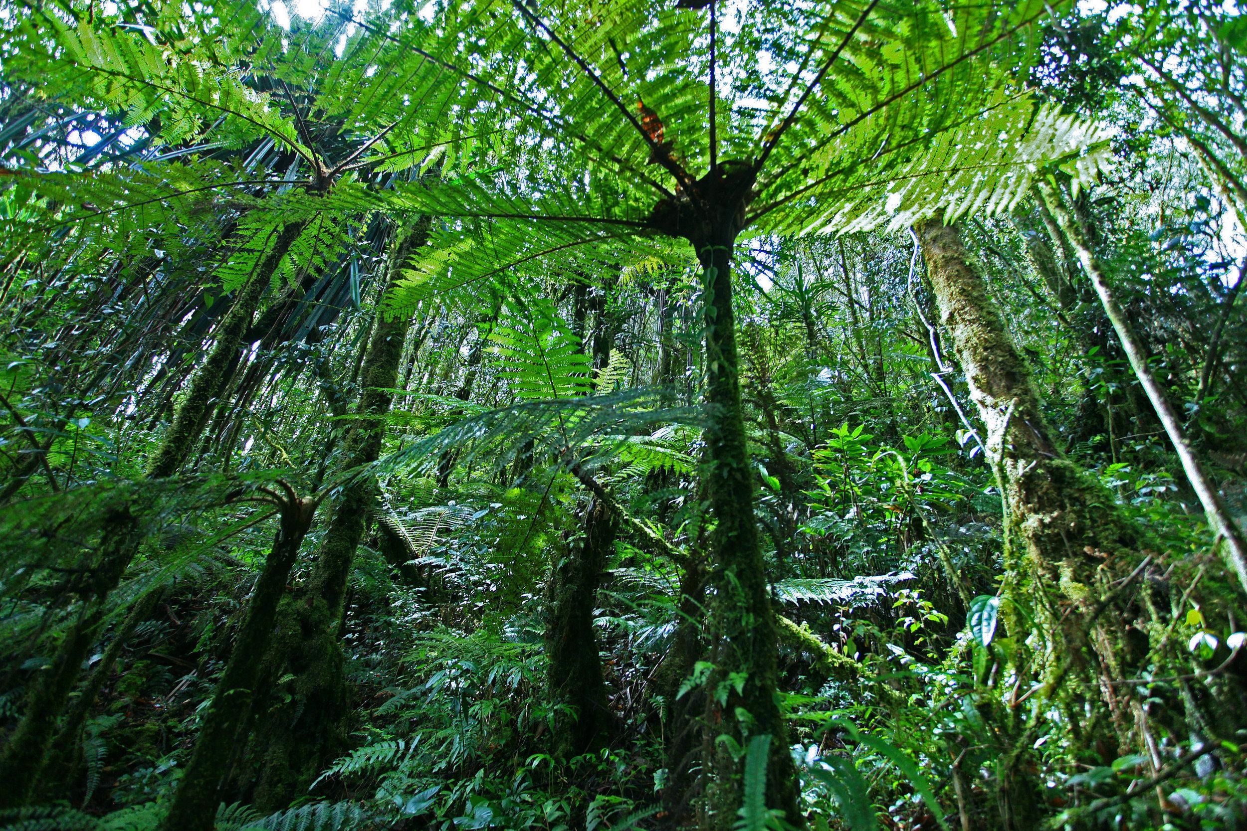 21_Cyathea_Papua_Rain_Forest_Papua-Indonesia.jpg