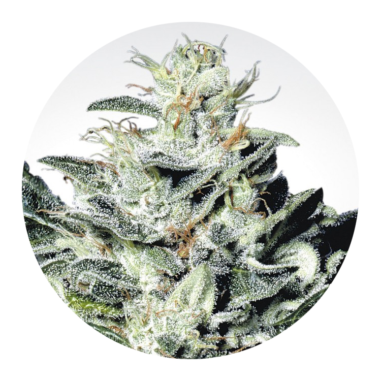 Hemp Star - Frosty, light green colored buds with orange hairs. Features a splash of citrus with a peppery, earthy aroma.Great for any time of the day, giving a happy, relaxed lift for creativity and focus.Potency: ~13-20% CBD content