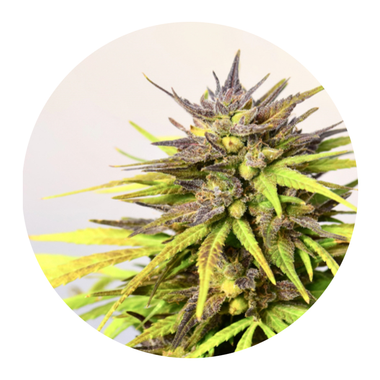 Cherrywine - A bright, fuzzy strain with an intense cherry and floral profile, finishing with hints of pine and pepper.Due to high CBD content, it provides a deep calm in body and mind.Potency: ~13-20% CBD content