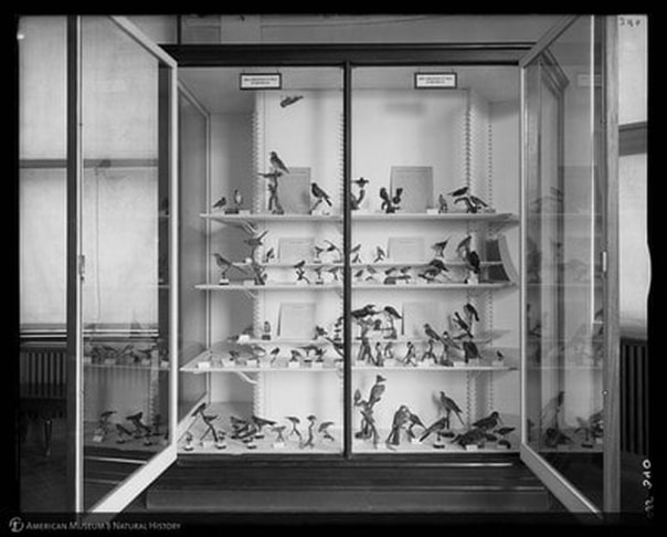 """""""Birds Found Within 50 Miles of New York City, [Hall of New York City Birds, 1894-1936],"""" American Museum of Natural History Research Library 