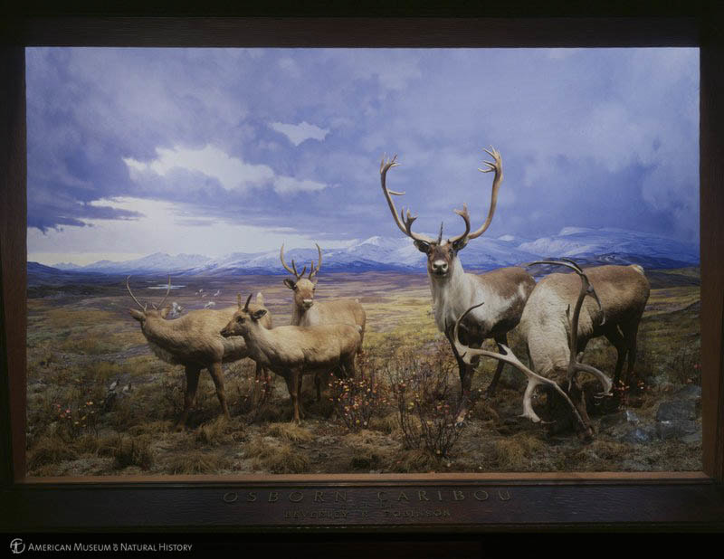 """""""Osborn caribou (Grant's caribou or Plains deer), diorama, Sandslake region, Alaskan Peninsula, Hall of North American Mammals,"""" American Museum of Natural History Research Library 