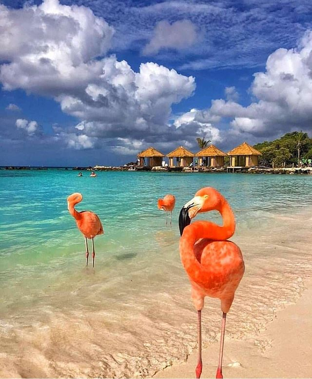 Dream destination the beautiful #aruba and see the amazing #flamingos 😍 What is your dream destination to #travel? ✨ Love this photo by @cbezerraphotos from @living_hotels 💕 Follow @seeya.soon to see more travel ideas ❤️ . . . . . . . . . . . . . . . . . . . . . . . . . . . . . . . . #travelphotography #travelblogger #traveladdict #traveller #travelguides #travelholic #traveling #travelgram #travel_drops #traveltheworld #instagood #explorers #discover_earth #travelawesome #luxuryhotels #luxurydestination #luxuryhotel #amazing_shots #beautiful_world #follow #ocean #island #travelblogger