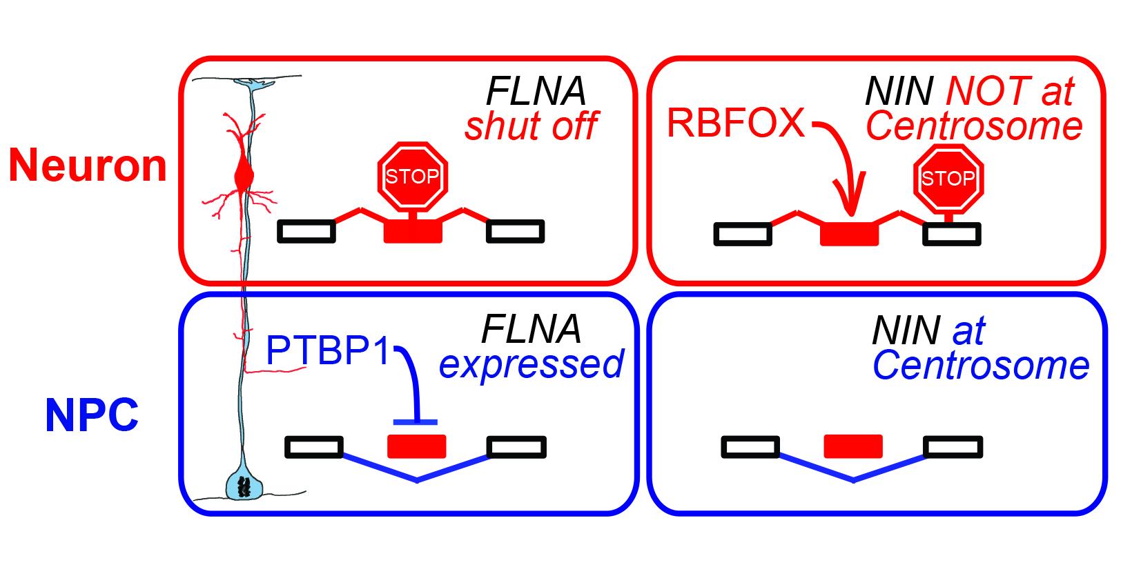 Cell-type-specific RNA splicing controls neocortex development (2016)
