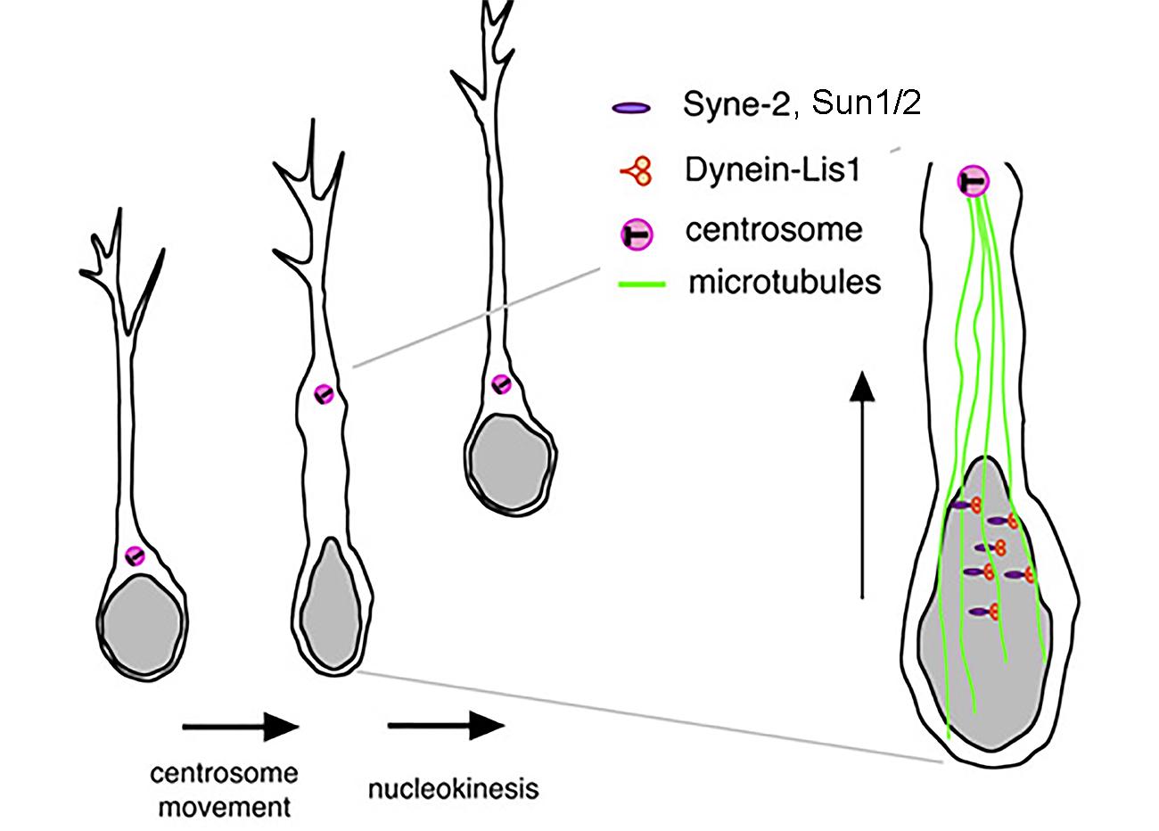 SUN-KASH links centrosome to the nucleus for radial neuronal migration (2009, mini-review by Hiroyuki Koizumi and Joe Gleeson).