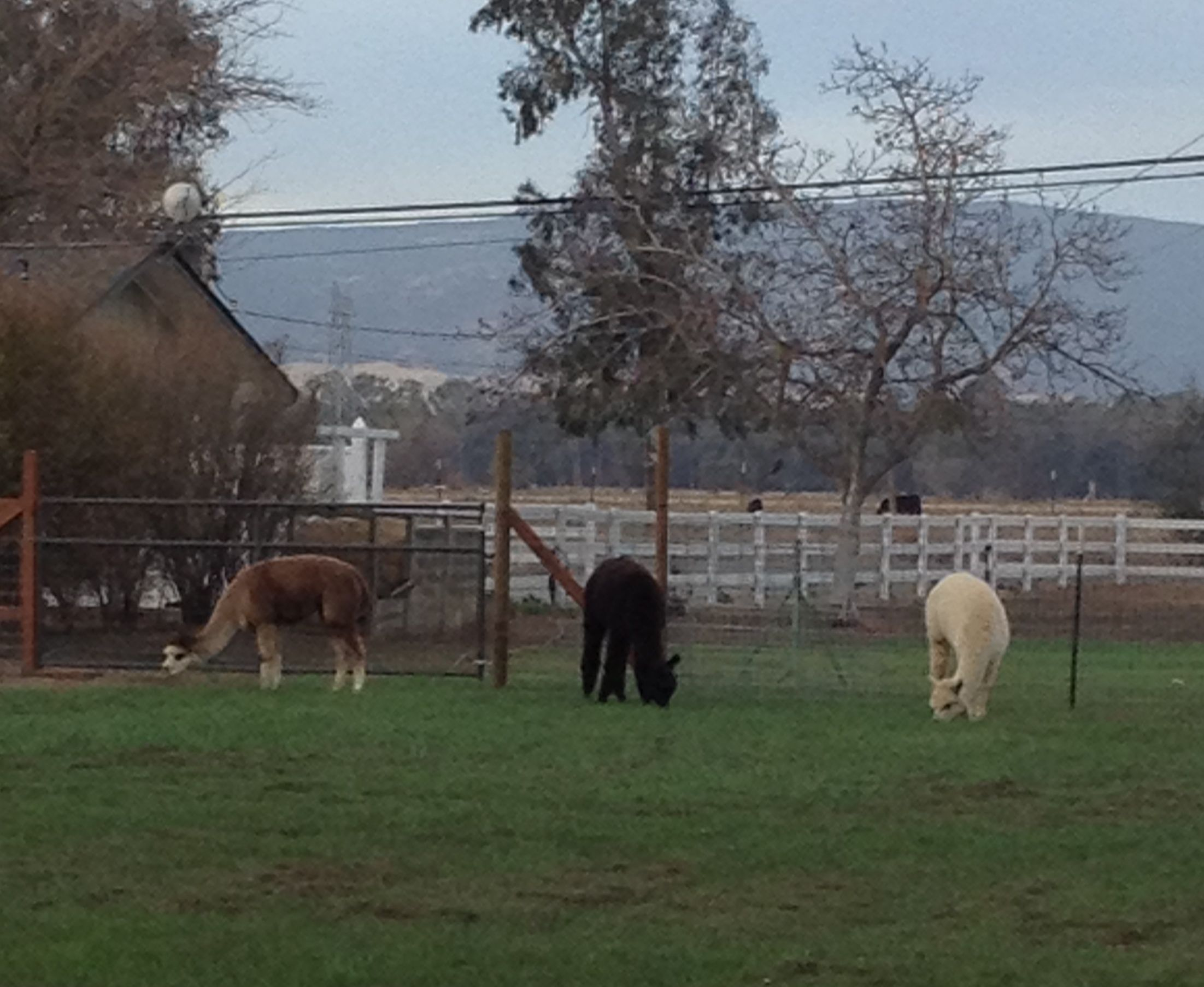 Grass emerges, fencing up, the first 4 alpacas move in!