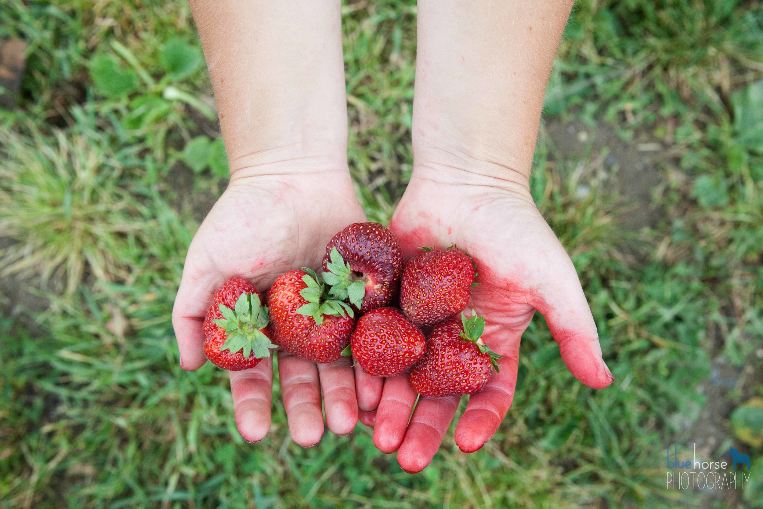 CSA members also get first access to our coveted organic pick-your-own strawberries fields
