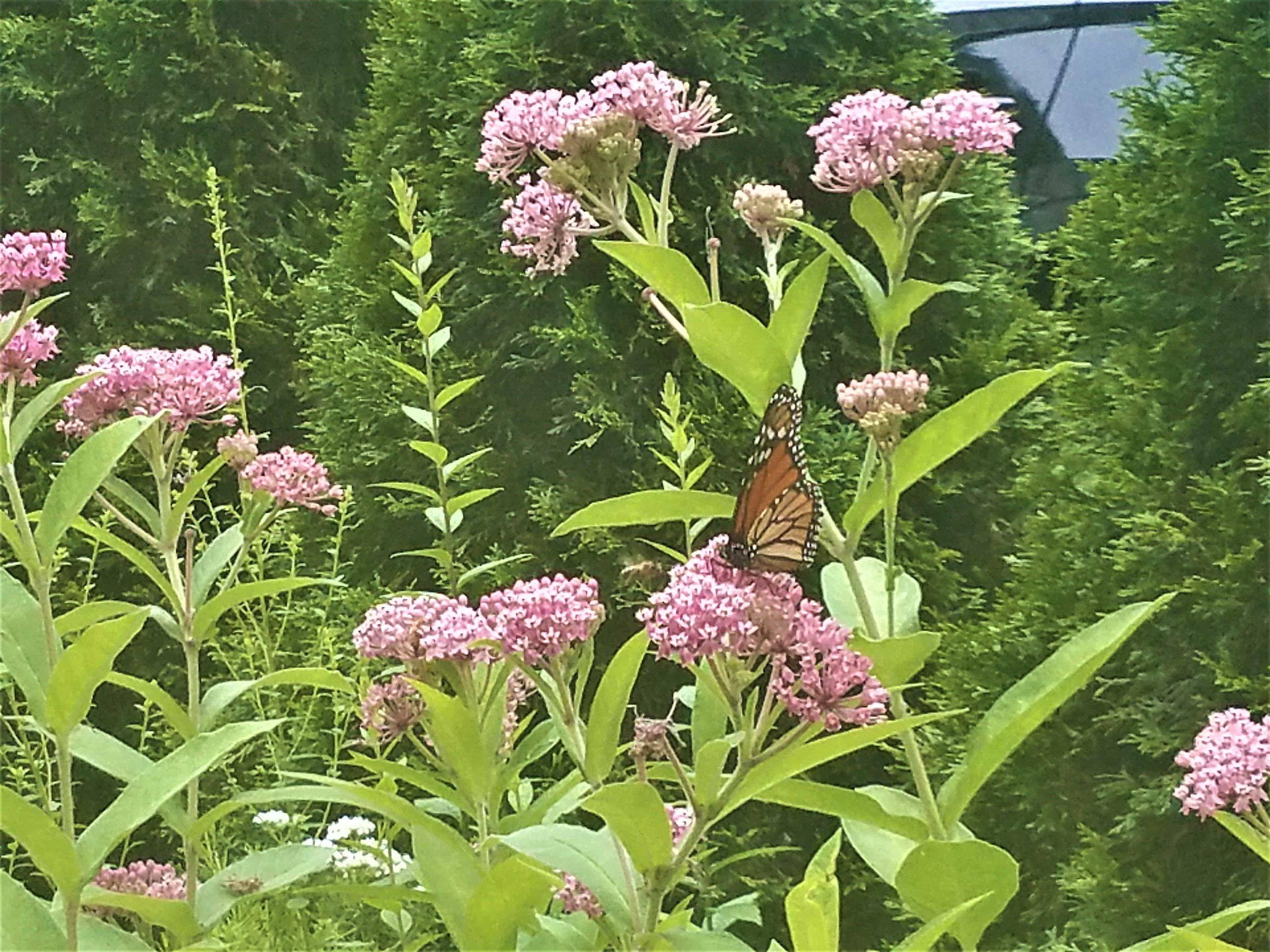20170727_Monarch on Milkweed.jpg