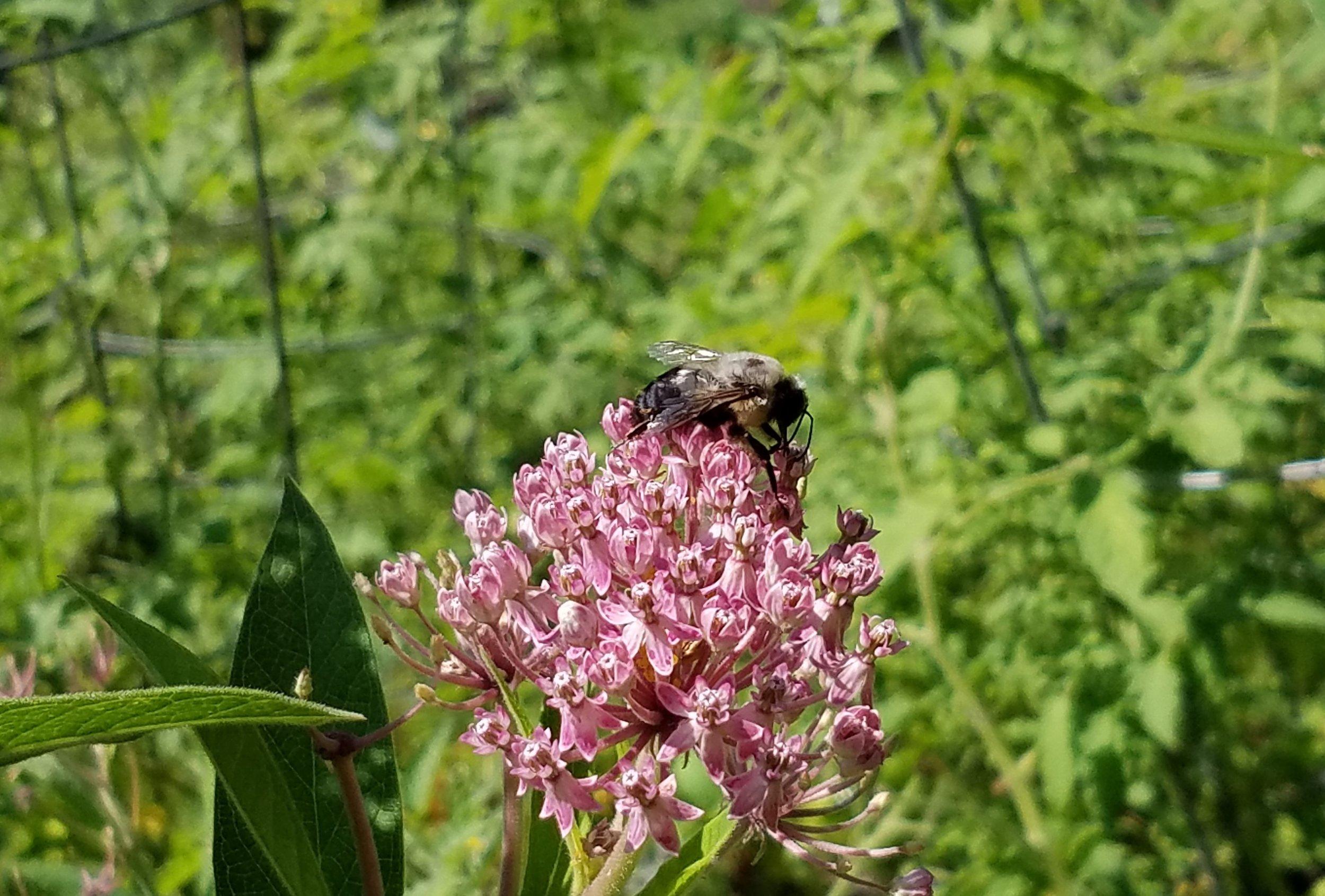 20180809_Bees love Milkweed too.jpg