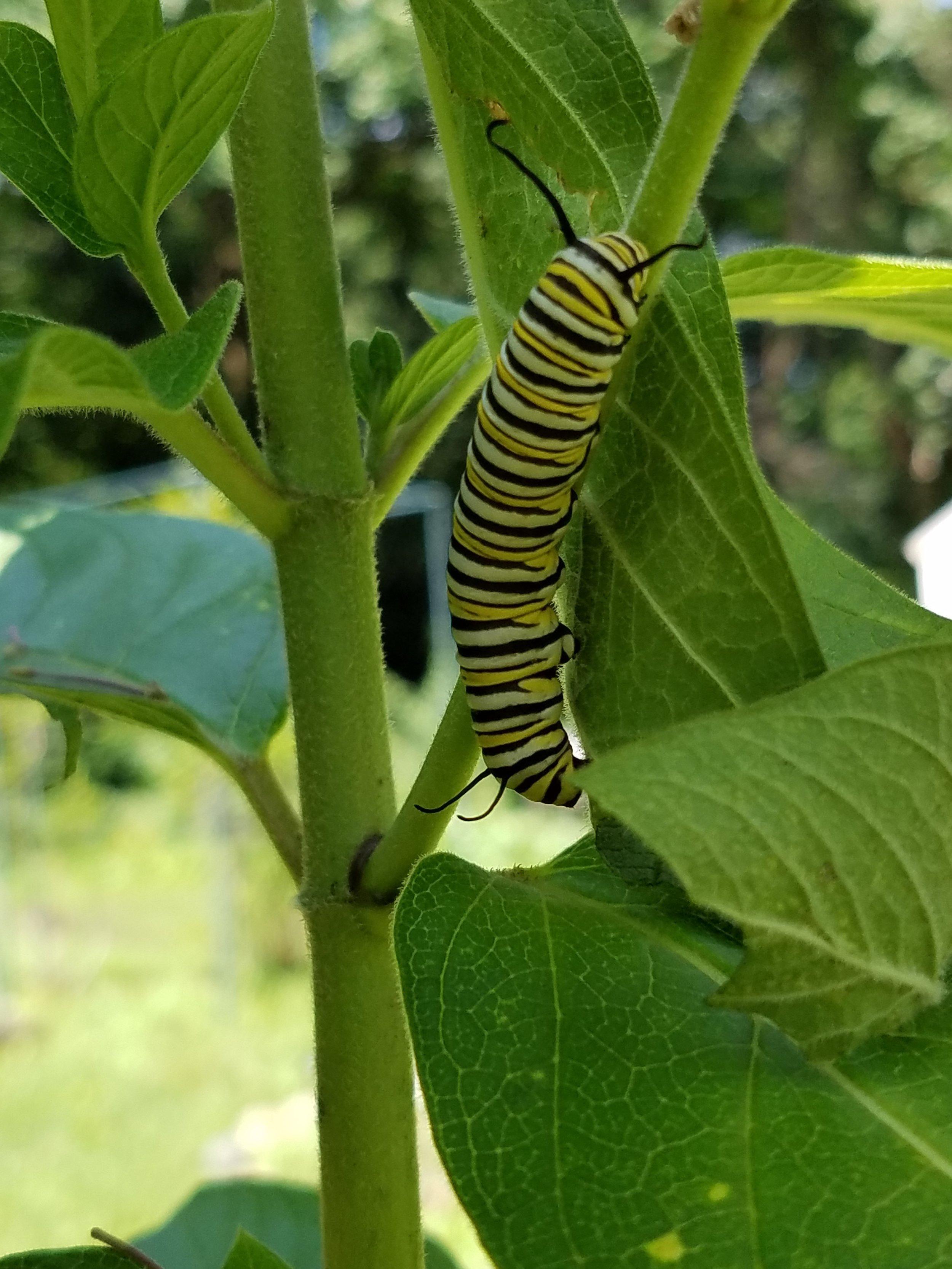 20180809_Monarch Caterpillar on Milkweed.jpg