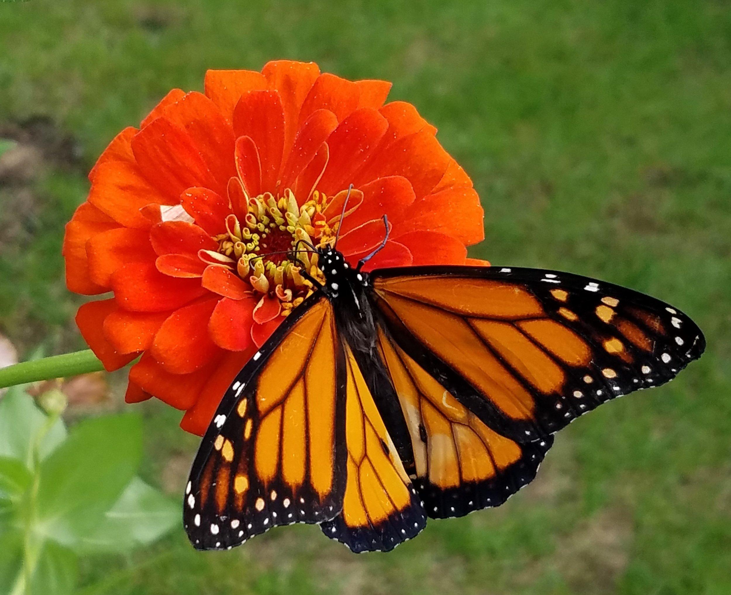 20180926_Male Monarch on Zinnia.jpg