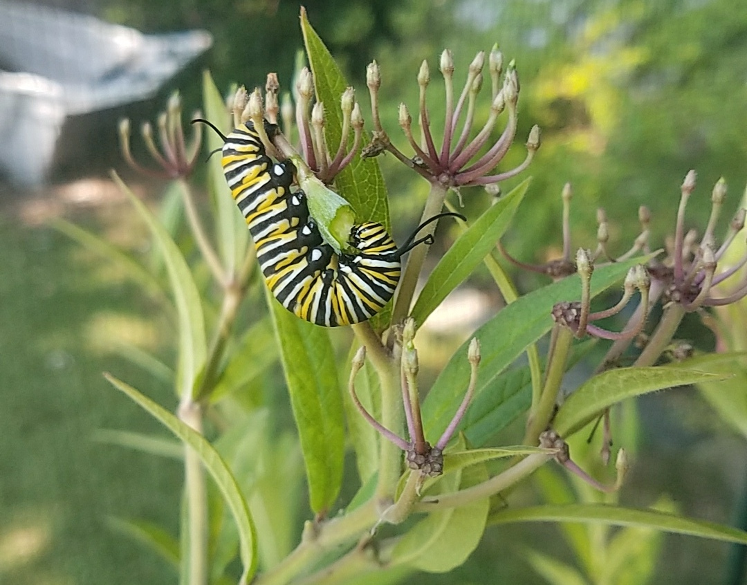Monarch 20170816_Monarch Caterpillar Eating Milkweed Seedpod.jpg
