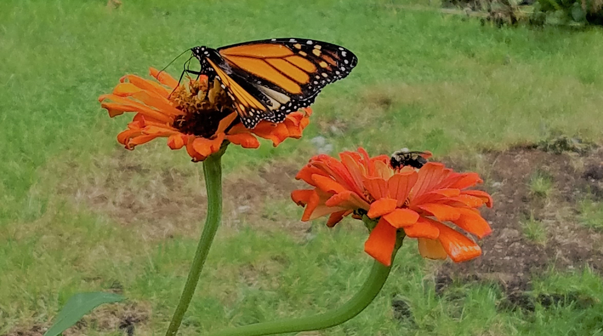 Monarch _ Bee on Zinnia.png