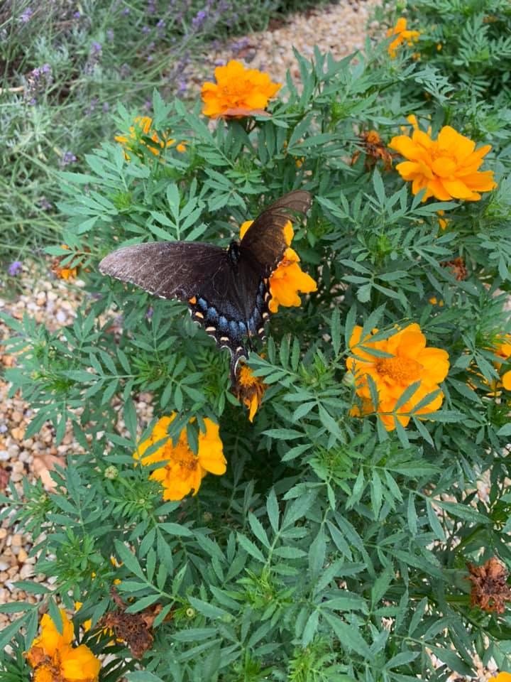 Butterflies at Shenadoah