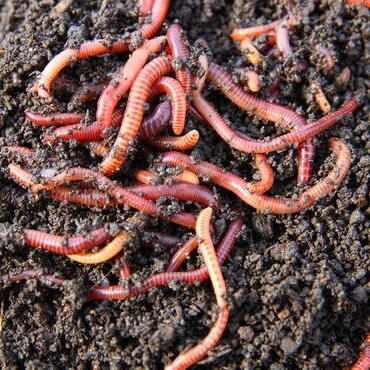 Red+worms.jpg
