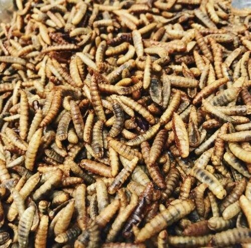 Soldier fly larvae.jpg