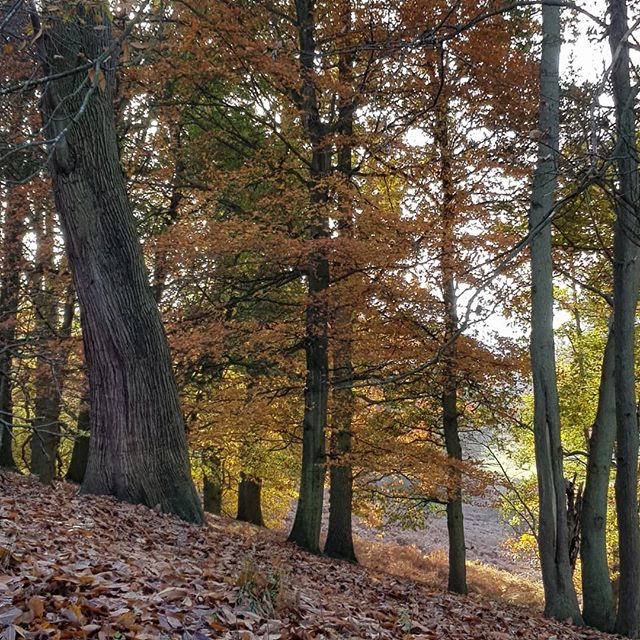 Knole Park at it's Autumn best , magical !#knolehouse #kent