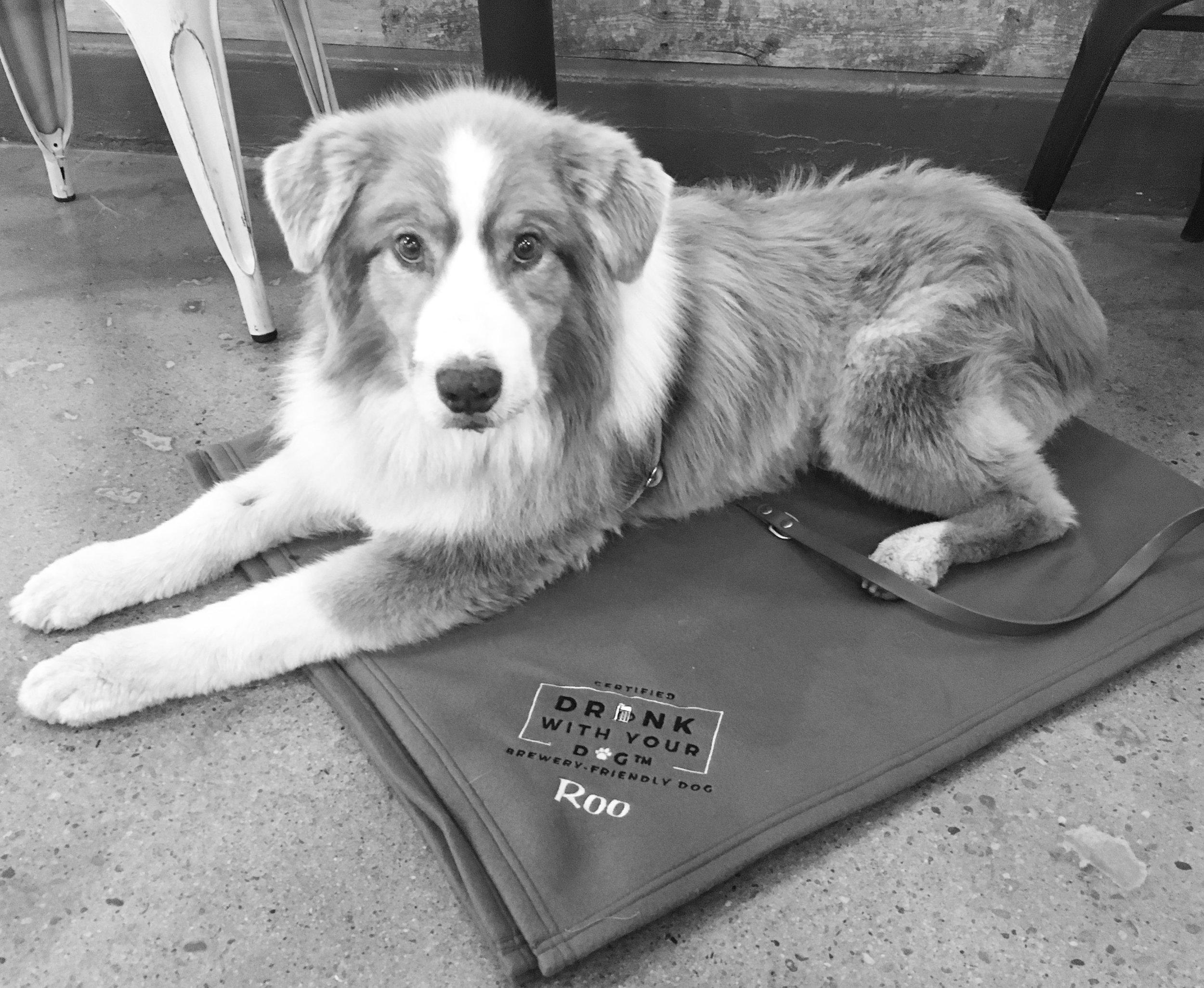 dog-in-brewery-australian-shepherd