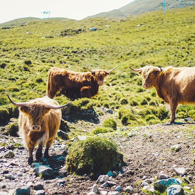 """When people ask me about my favorite thing I did in Scotland, I have one answer: I loved EVERYTHING that we did, and I can't narrow it down to anything because the entire trip was so spectacular. However, I really freaking loved these """"Hairy Coos"""" (hairy cows in a Scottish accent 😂). They were everywhere and so stinking cute! So thank you, hairy coos, for making my trip even more magical. ✨🐮 • • • •  #hairycoos #hectorshighlandcoos #scotlandcoos #musicianadventures #jonesfamilyadventures #livemusic #lamusic #lamusician"""