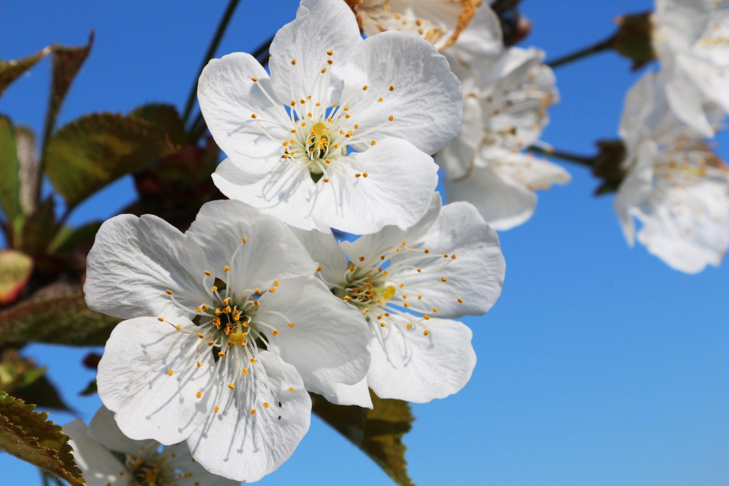 _absolutely_free_photos_original_photos_white-cherry-blossoms-5184x3456_87205.jpg
