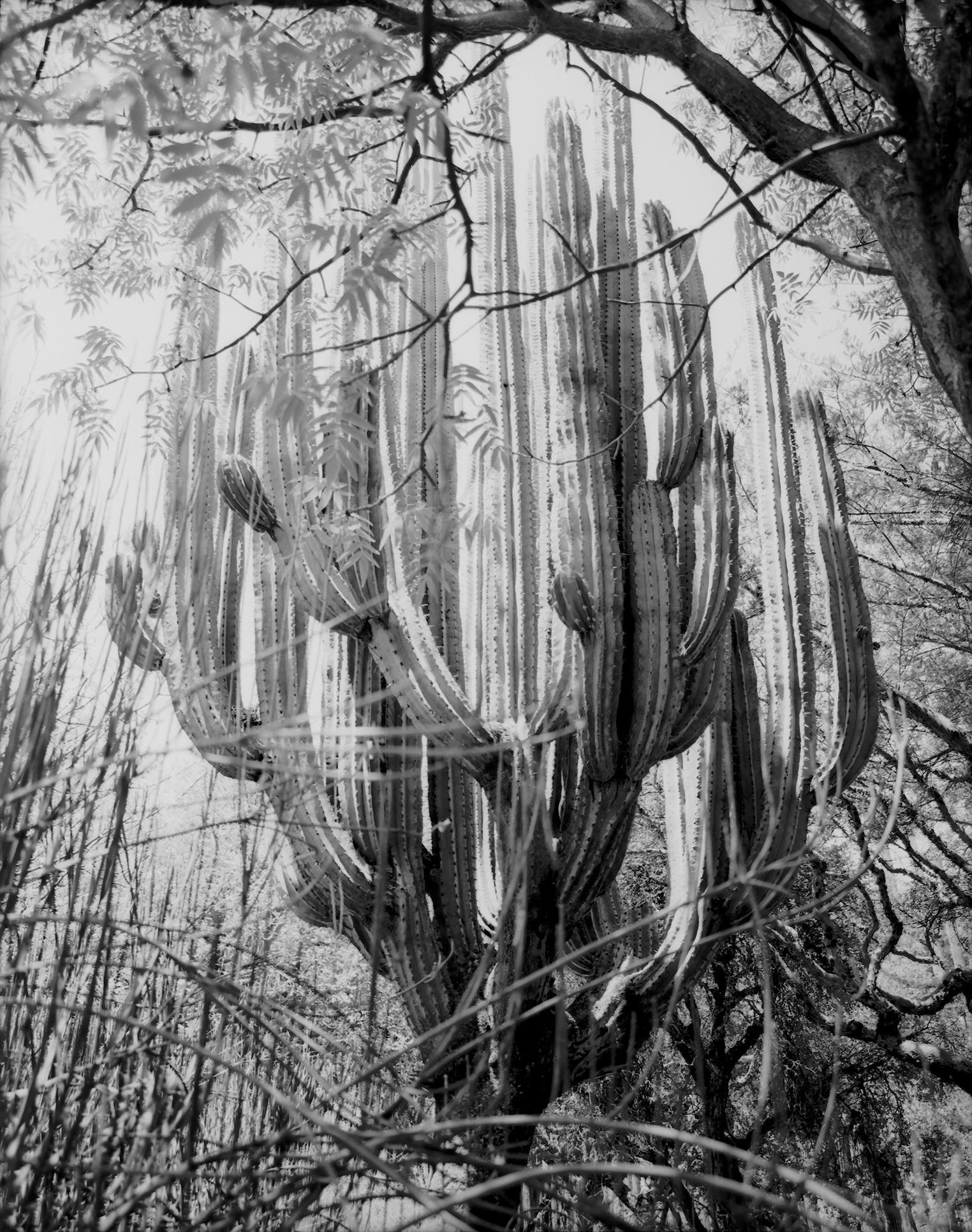 Giant_Cactus_Oaxaca_small.jpg