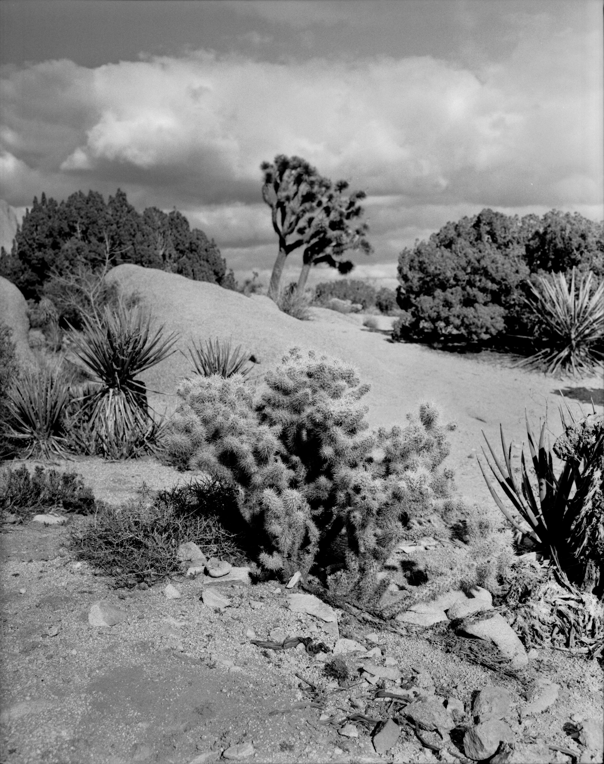 Joshua_Tree_BW (5 of 5).jpg