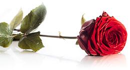 pink-red-rose.jpg