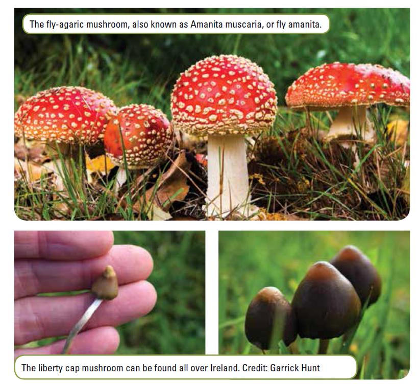 magic mushrooms.png