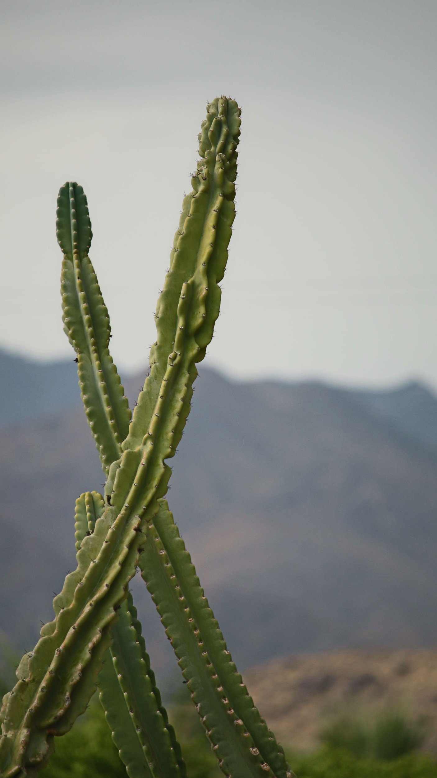 two tall cactus arms crossing over each other with blurred mountains in background.jpg
