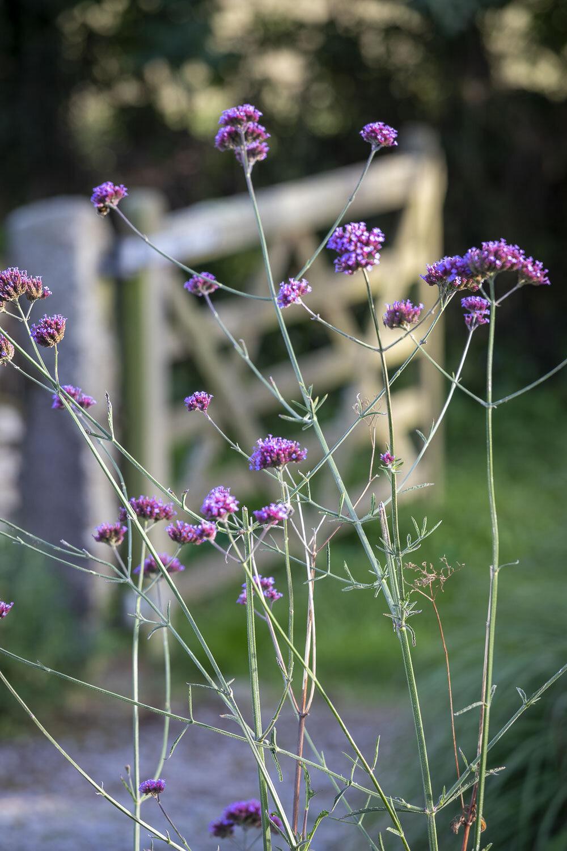Kestle Barton, Cornwall, garden design by James Alexander-Sinclair. Late summer/ autumn planting.