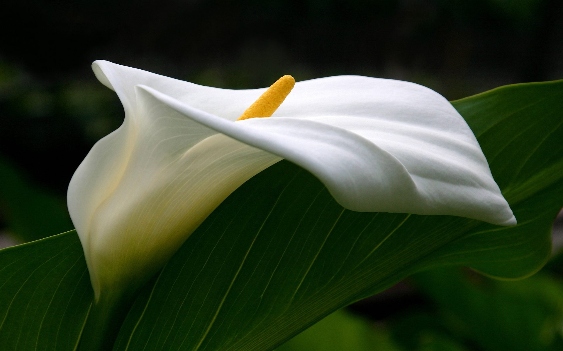 National-Flower-Of-Ethiopia-calla-lily.jpeg