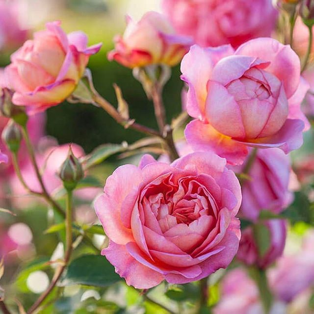 Samantha's (our creative director) primary inspirations are the soft flowing curves of flowers and their petals. Here is one of her favourites @david_austin_roses #roses #pinkroses #davidaustinroses #davidaustin #pink #rosepetals #designer #jewellerydesigner #inspiration