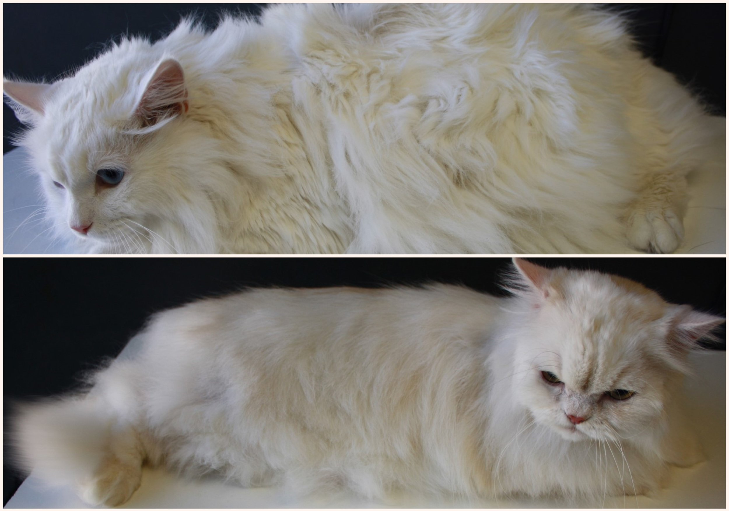 A Full Coat Groom and Deshed was just what this kitty needed.