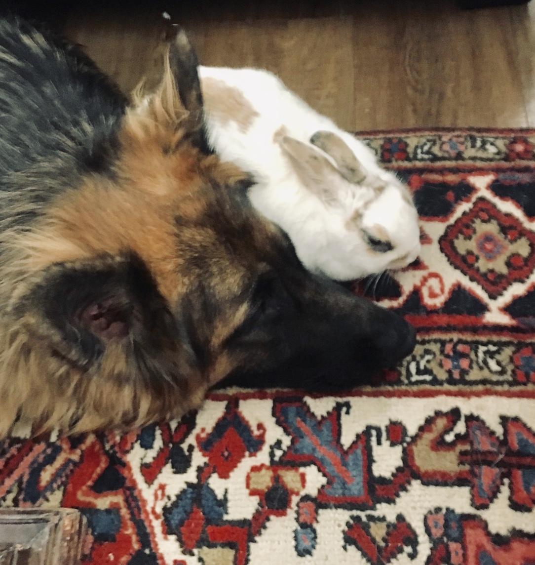 """Koda"" & ""Bentley"" - German Shepard & Bunny…it wasn't cuddles at first."