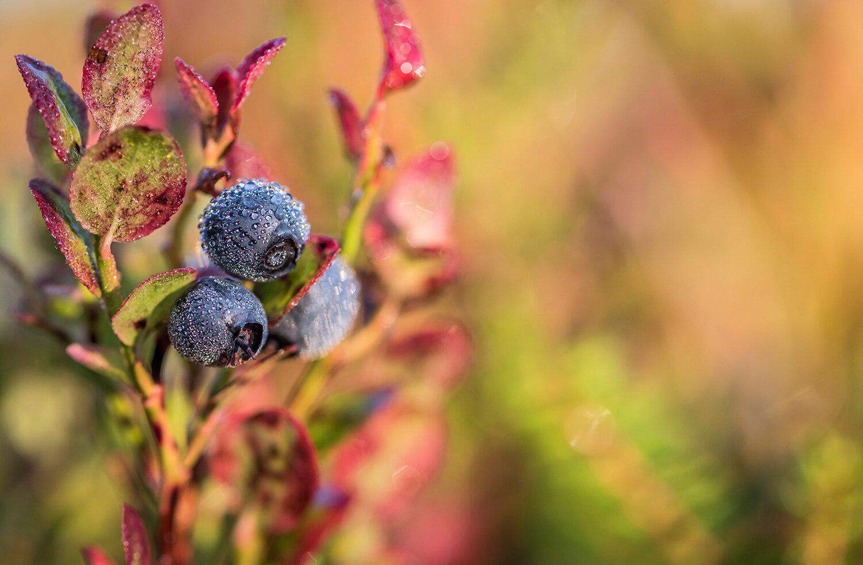 luontokuva-ruskamustikka-1500px.jpg