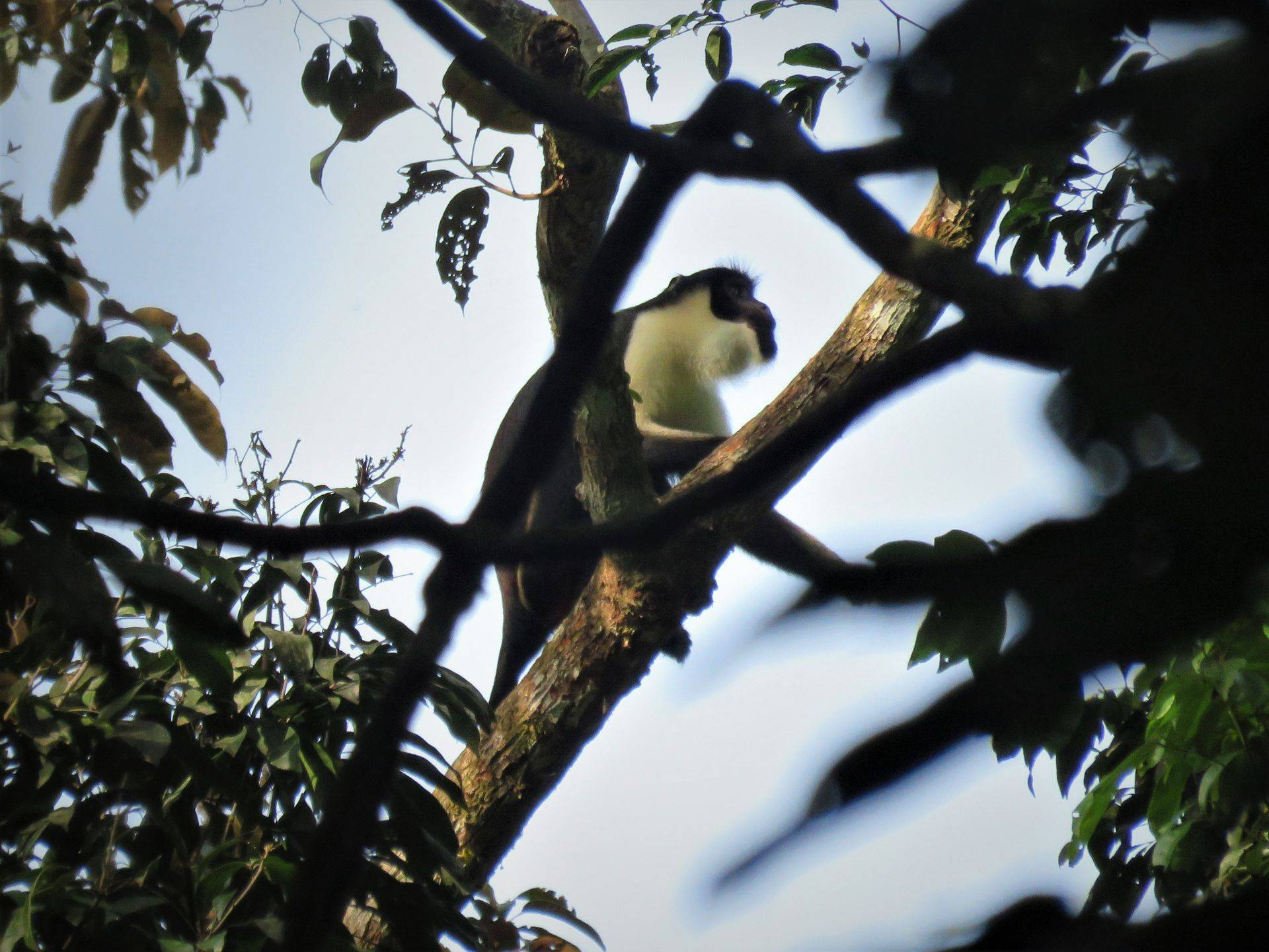 Diana Monkey.jpg