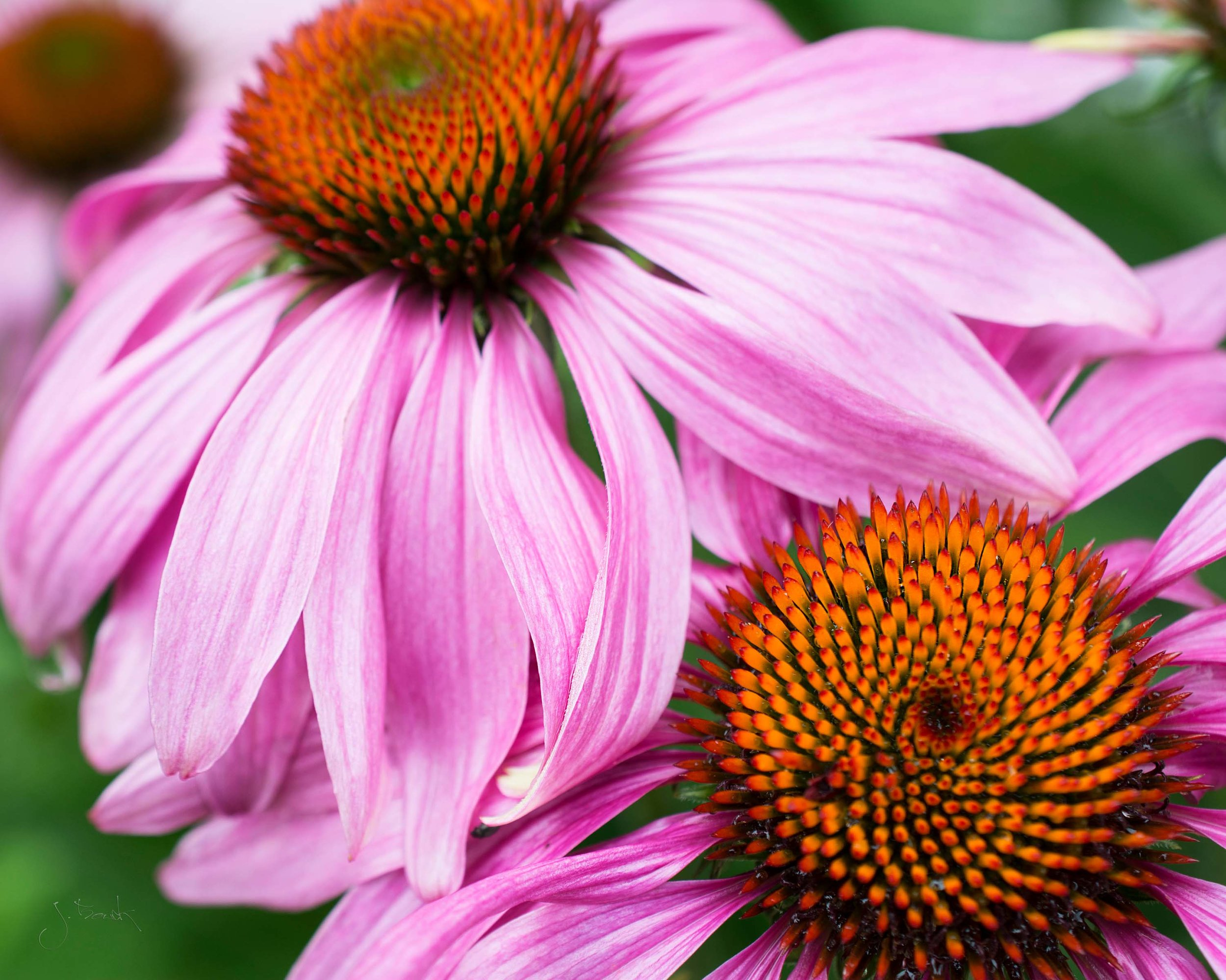 Cone Flower Study 8190 8x10 Floater Frame Gallery Wrap.jpg