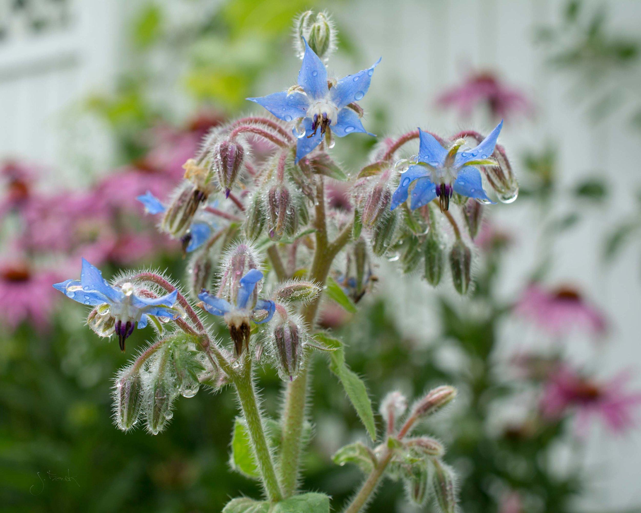 Dew on Blue Petals 8180 10x8 Floater Frame Gallery Wrap.jpg