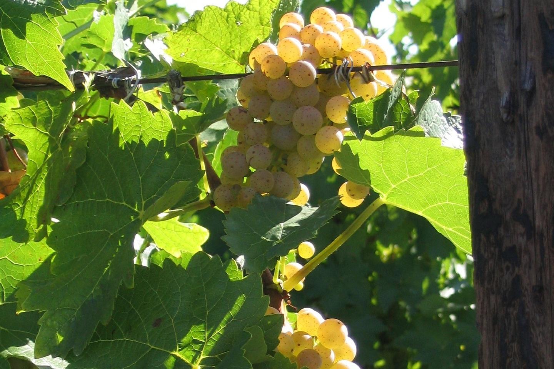 ontario+grapes-419185_1920.jpg