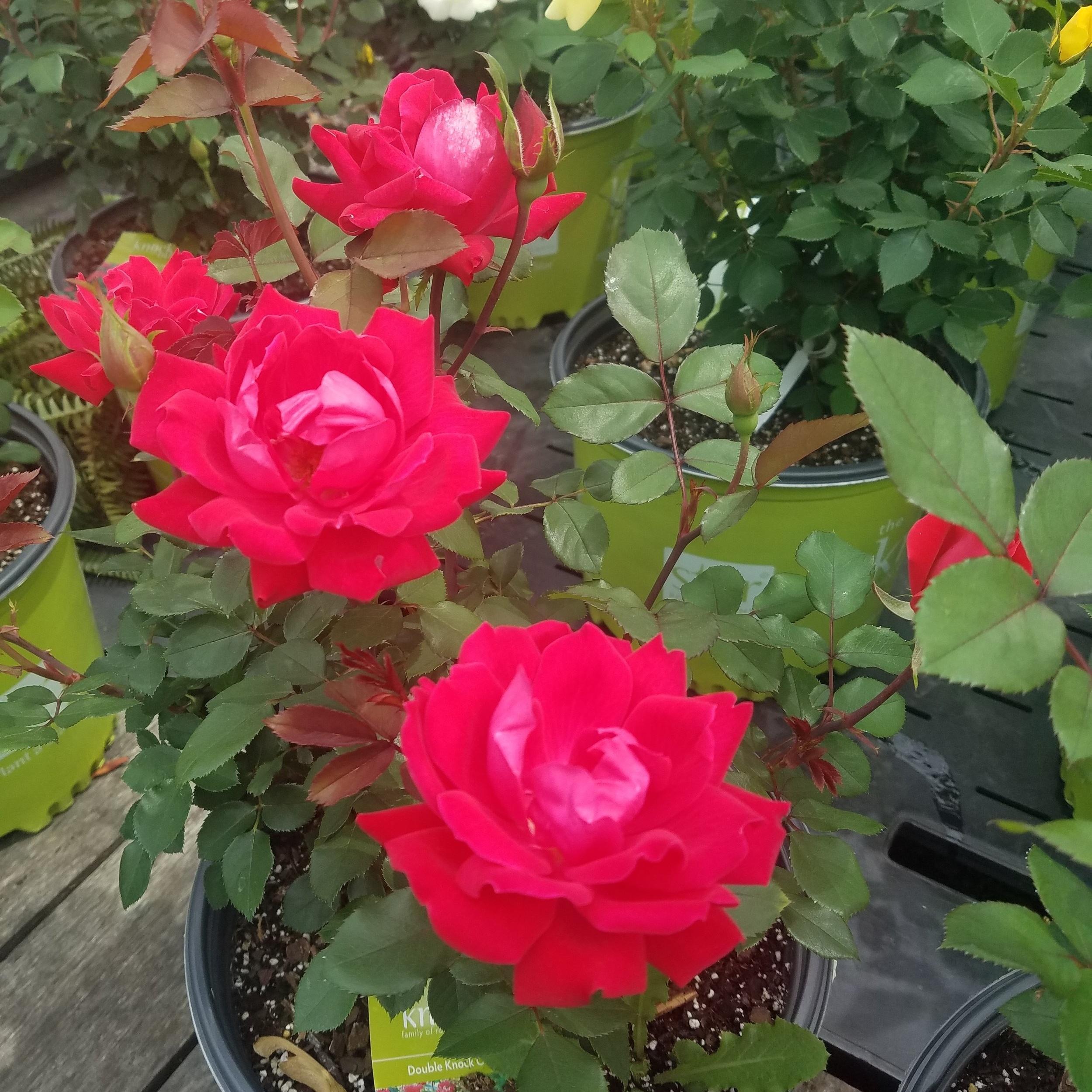Perennials -