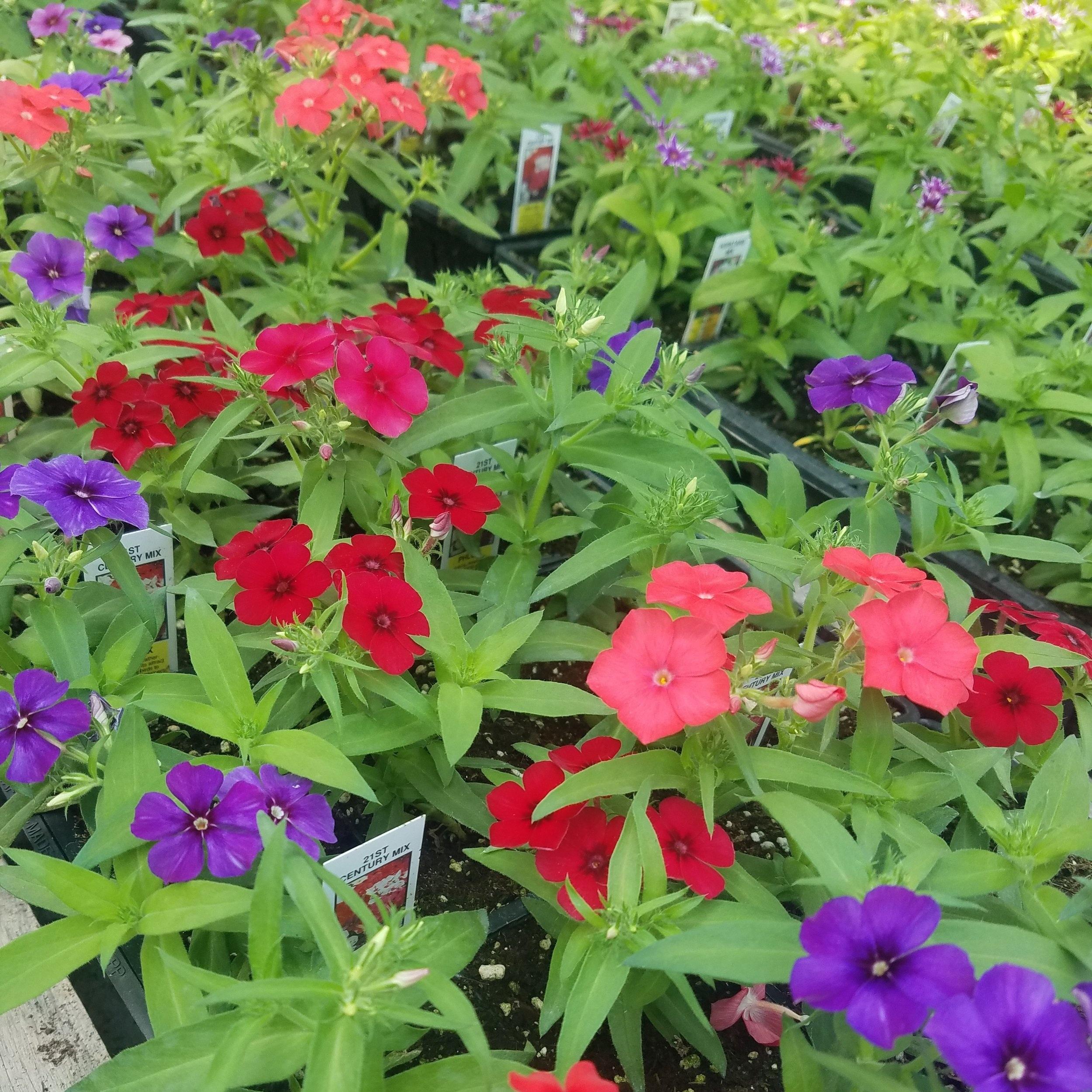Bedding Plants -