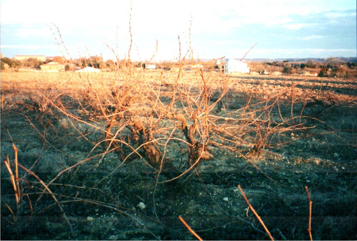 Spanish Vines.jpg
