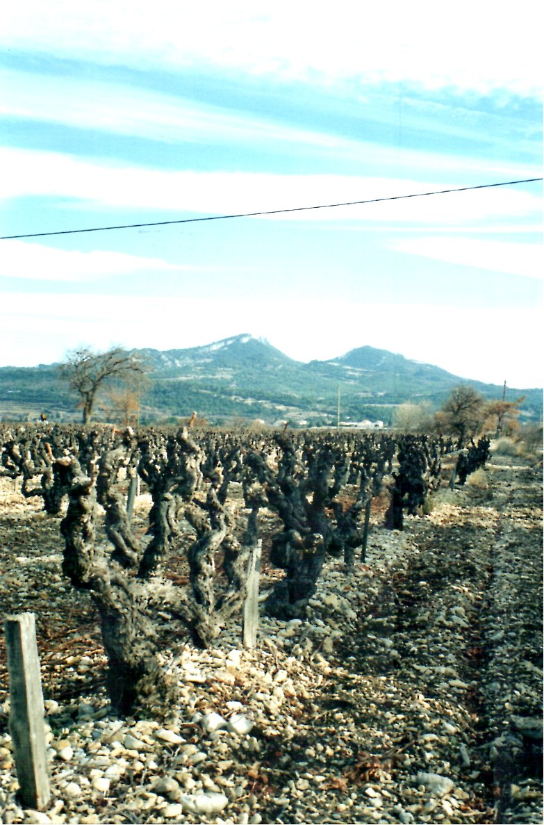 Gnarled Old vines at Dom Amouriers in Vacqueras.jpg