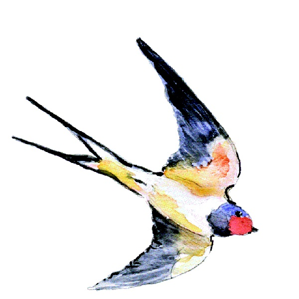 Barn Swallow.jpg