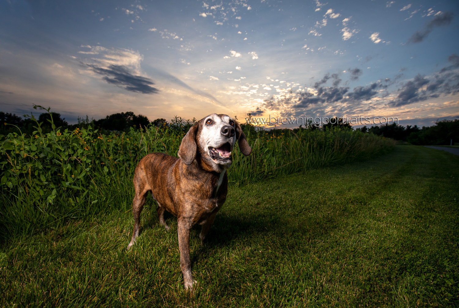 sunset senior dog