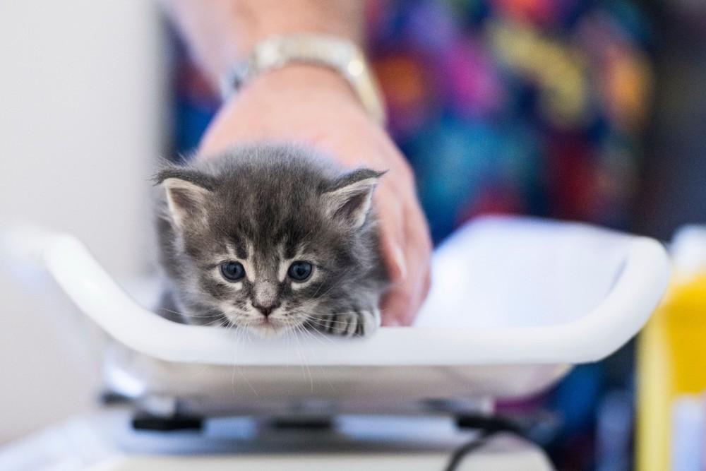 kitten on scales at Toowoomba vet