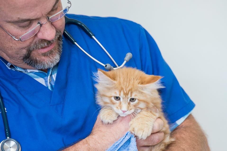 toowoomba veterinarian dr alistair webb holds kitten