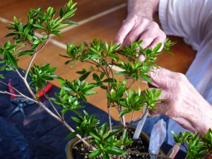 Reducing an Azalea to two shoots at each junction.