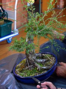 Chinese Elm being adjusted.