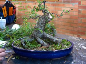 Major reductions for a Chinese Elm.